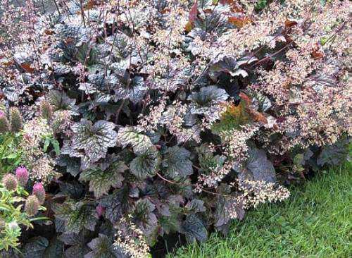древовидная лилия: выращивание, как ухаживать, особенности